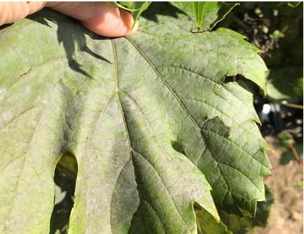 Photos of powdery mildew on grape leaves